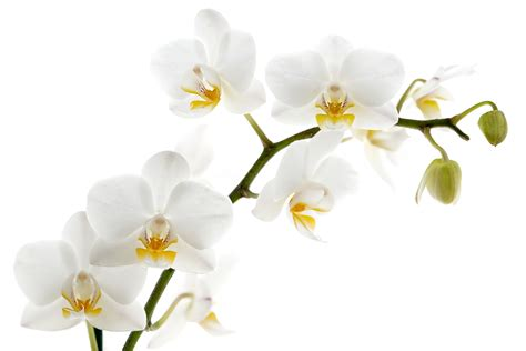 Library of white orchid bunch jpg free library png files