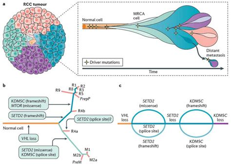 Cancer evolution and tumour heterogeneity in ccRCC